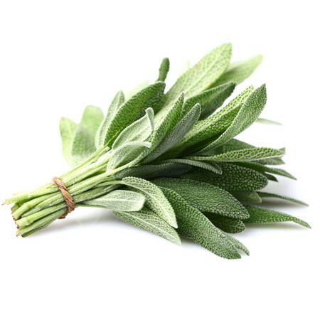 Adaçayý (Salvia)