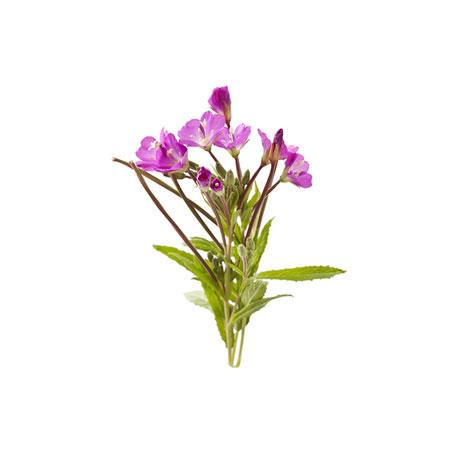 Yaký Otu (Herba Moxibustion)